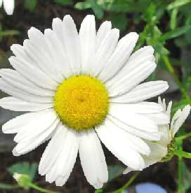 daisy flower types of daisies theflowerexpert