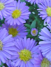 Image of Purple Aasters