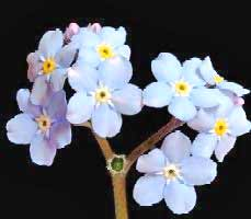Image of Forget Me Not Flower