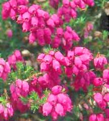 Heather Calluna Vulgaris Scotch Ling Is An Evergreen Branching Shrub Flowers Bloom In Late Summer