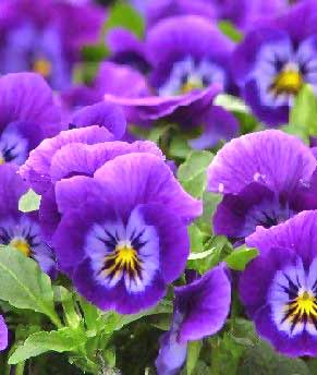 Pansy Flowers Pansies are one of the earliest flowering plants, blooming right alongside the spring bulbs. The name pansy is from the French word pensie, ...