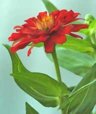image of bright red zinnia