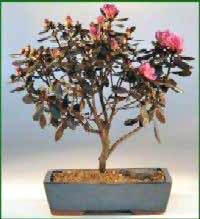 Image of Flowering Bonsai