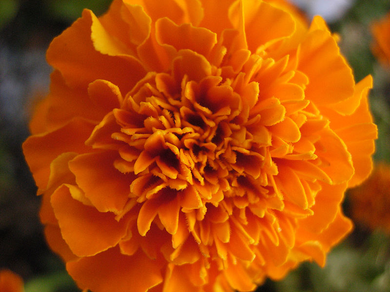 growing-marigold