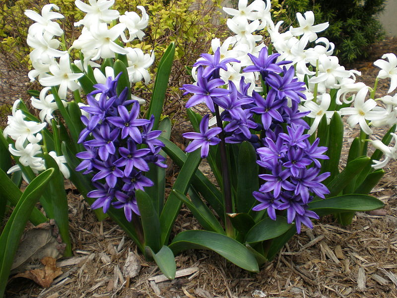 Hyacinth Flowers Facts Varietiesgrowing And Plant Caring Tips
