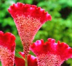 Flowers And Astrology - Celosia