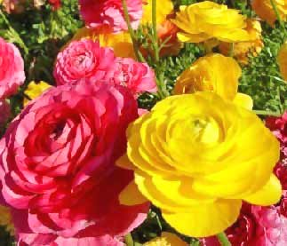 Image of Carnations
