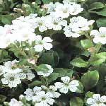 Image of White Gypsophila