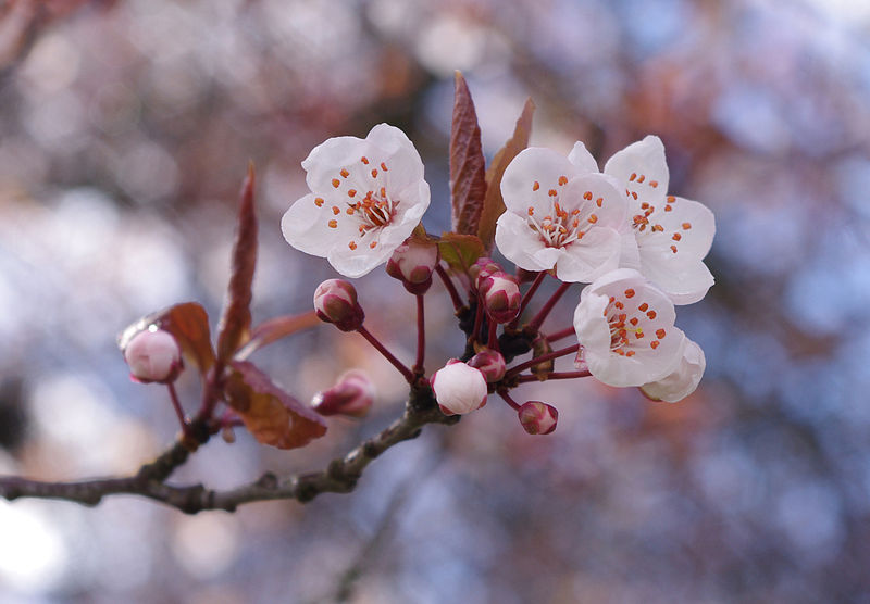 Information About Flowers Cherry Blossom