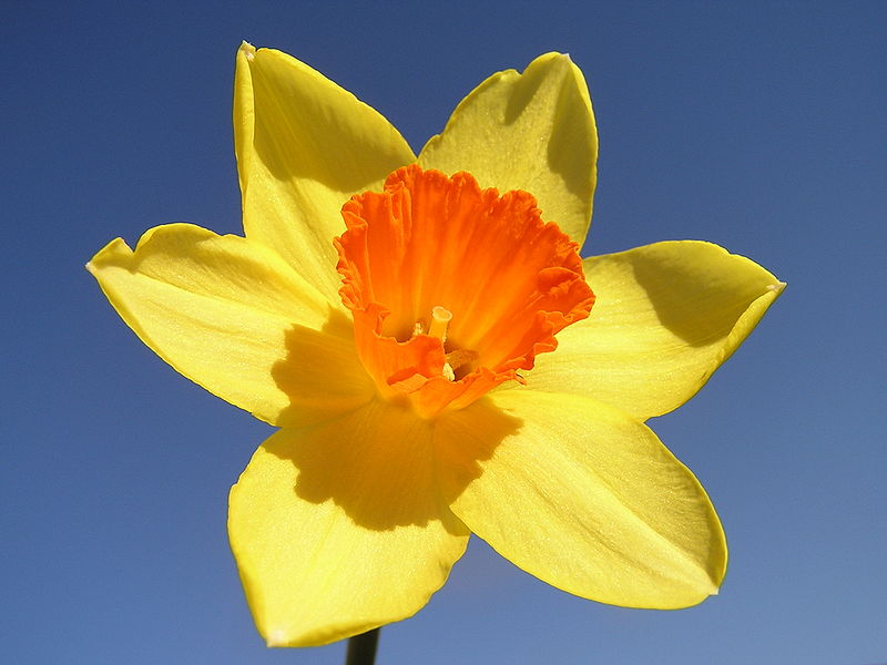 Image result for pictures of daffodils