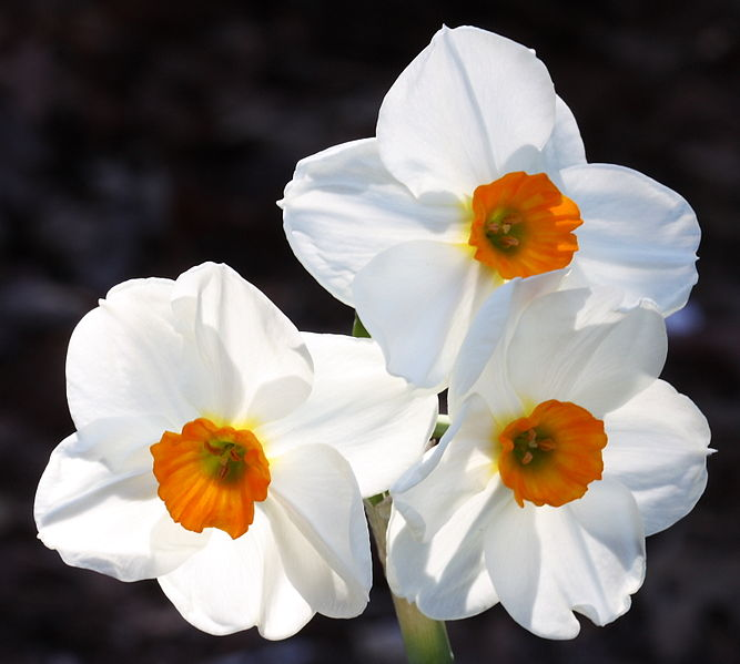 Daffodils Tips Gardening Pictures Care Meaning Growing Daffodils