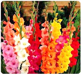 *����� ������ ��������* assorted-gladiolus.j