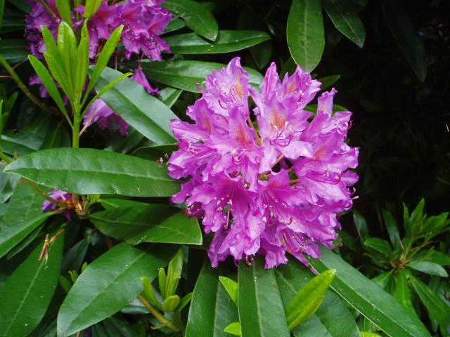 Rhododendron The Flower Expert Flowers Encyclopedia