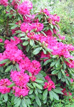 alpine rose rhododendron