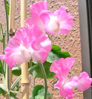 flowers images. Sweet Pea - The Flower Expert
